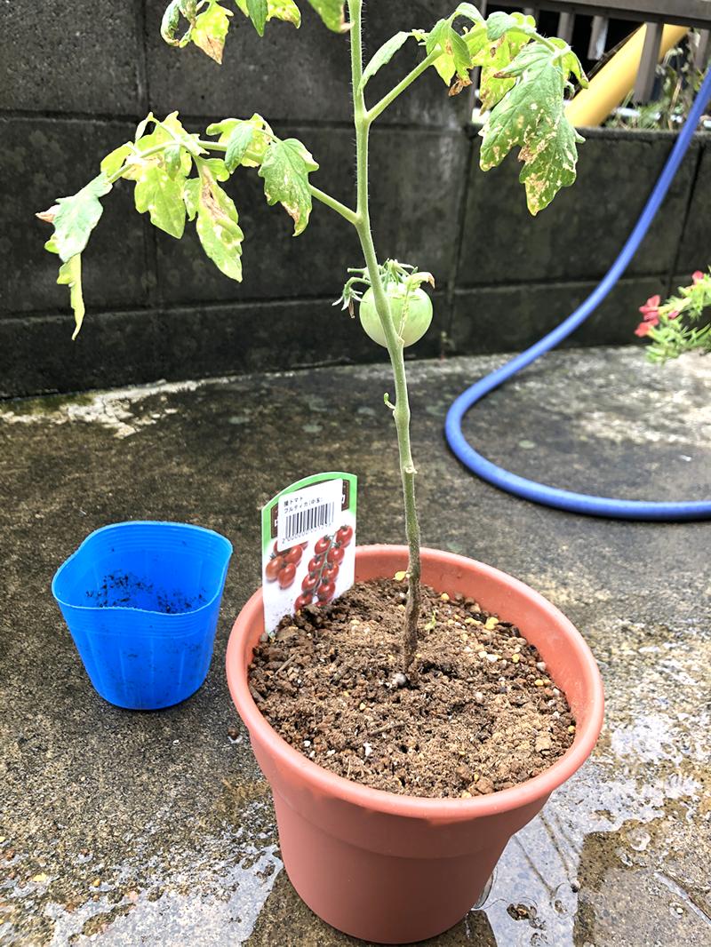 トマトの鉢植え完了